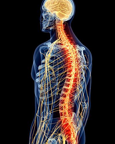 人間の脳と身体と神経